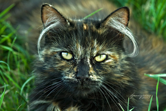 Tortie Cat with long hair in ears