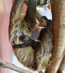 みさき公園のナマケモノの赤ちゃんは金環!