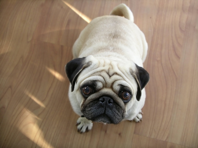 All About HD Wallpapers: Pug Dog Wallpapers