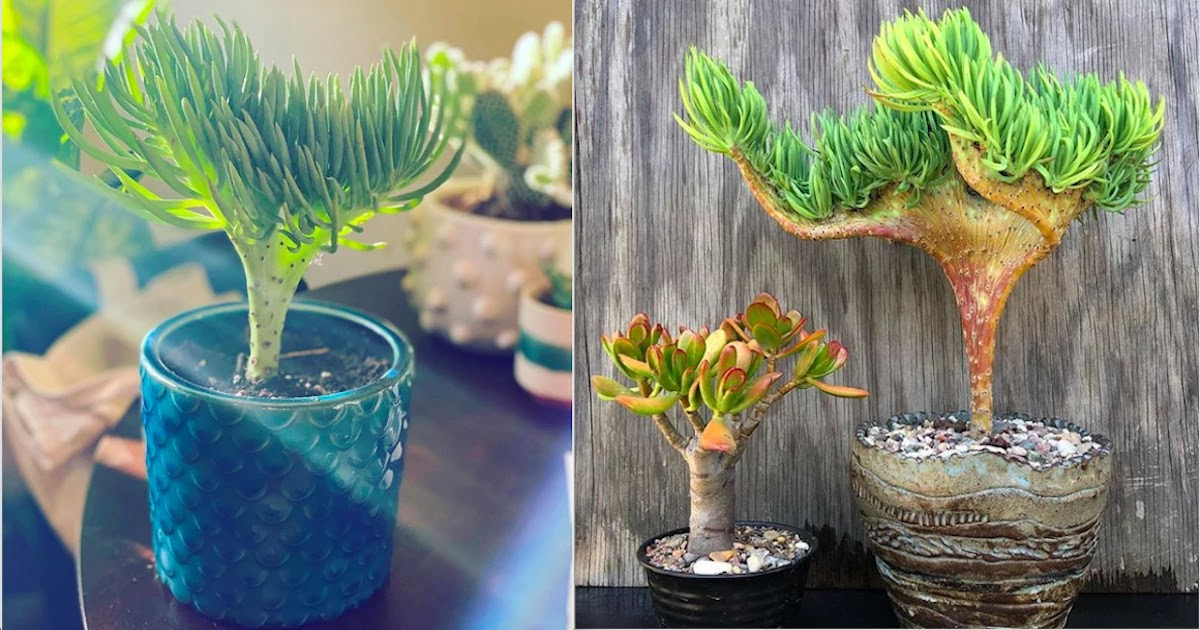 Meet The Crested Senecio Vitalis: The Mermaid Tail Succulent That Will Bring Ocean Vibes Of Tranquility To Your Space
