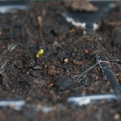 seedlings ~ growourown.blogspot.com ~ an allotment blog