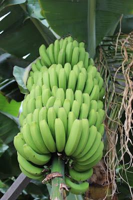 bahan usaha keripik pisang