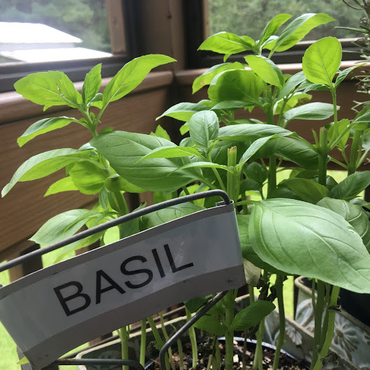 Basil is My New Best Friend