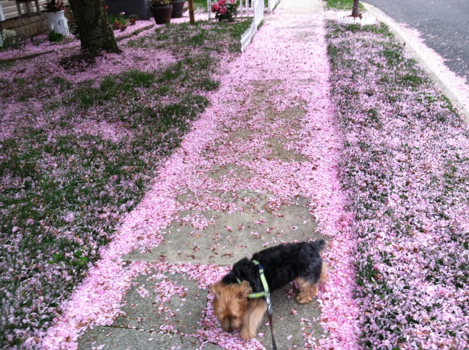 Priscilla-and-The-Pink-Cherry-Blossoms