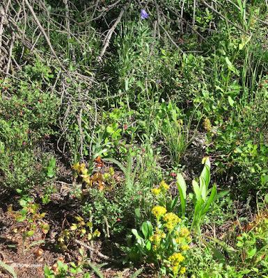 subalpine wildflowers