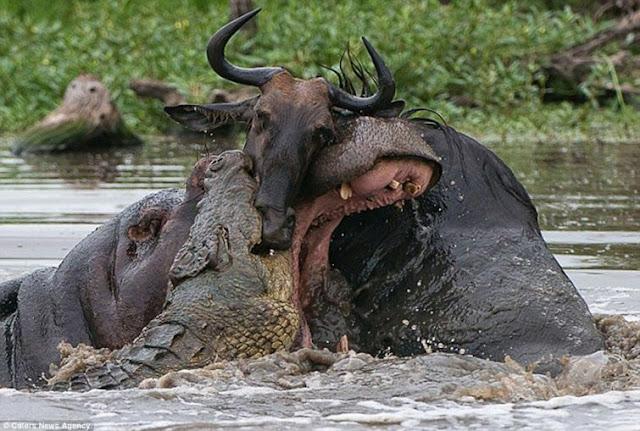 бегемот, крокодил и антилопа