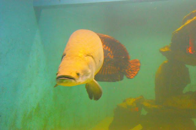 Ikan Arapaima, Ikan Raksasa dari Amazon
