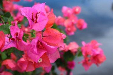 Makalah Budidaya Tanaman Hias Bunga Bougenville Baca Saja