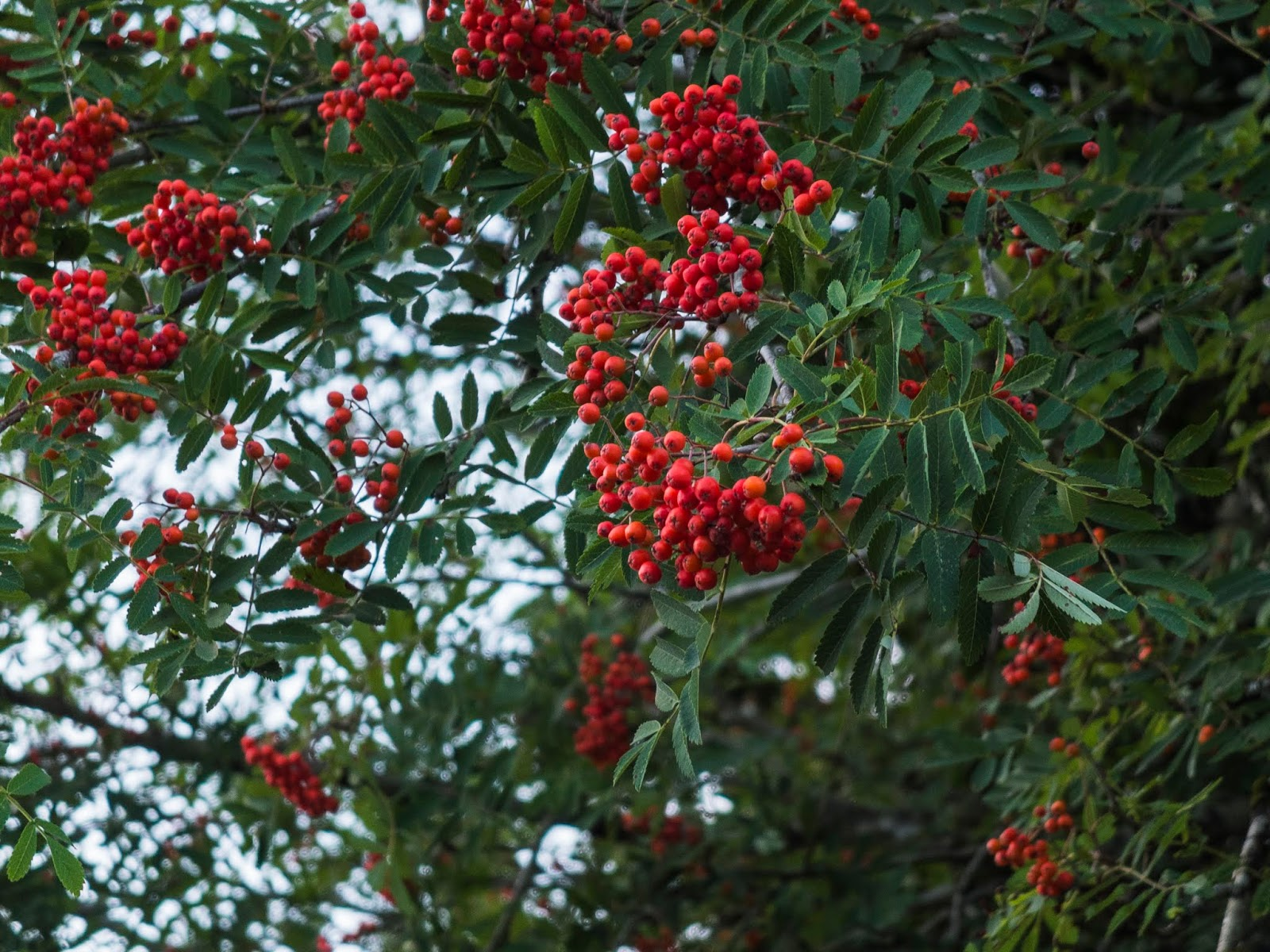 Berries on a Rowan tree pictured underneath the tree.
