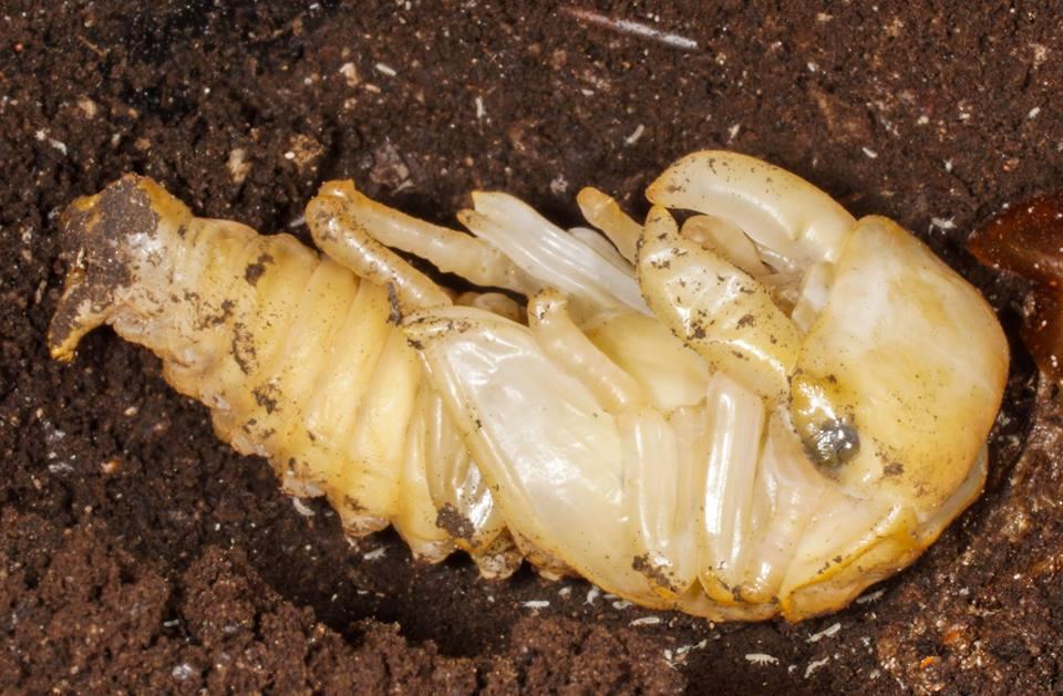 Pupa Kumbang