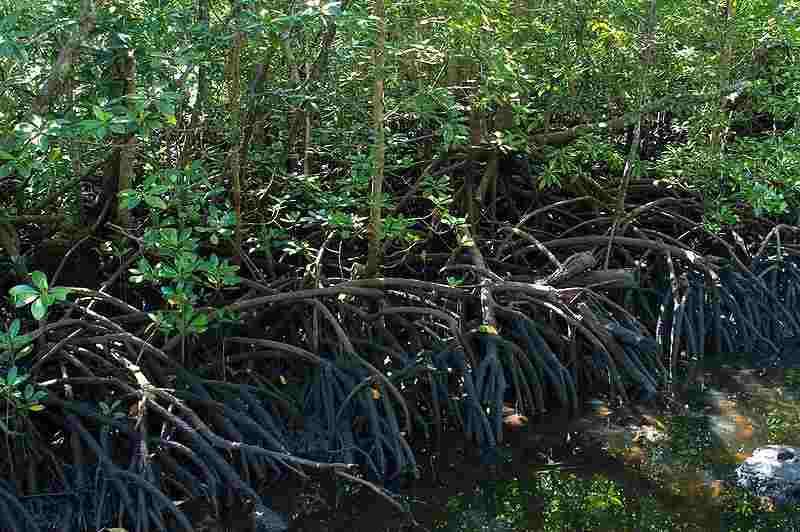 Itfan: Lindungi Hutan Bakau ( Mangrove ) !!