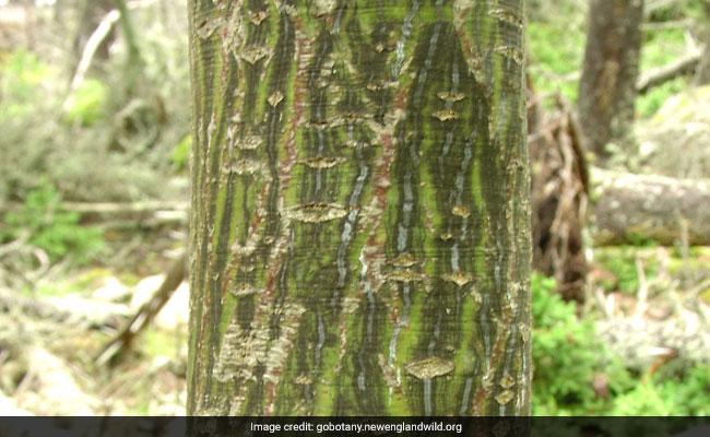 acer-pensylvanicum-tree