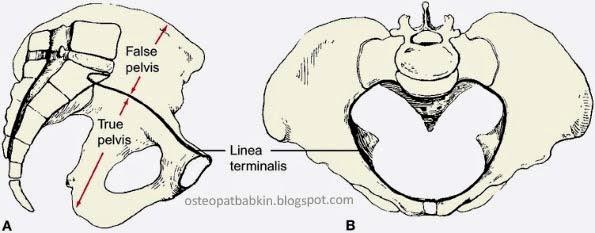 Начало тазовой диафрагмы от пограничной линии