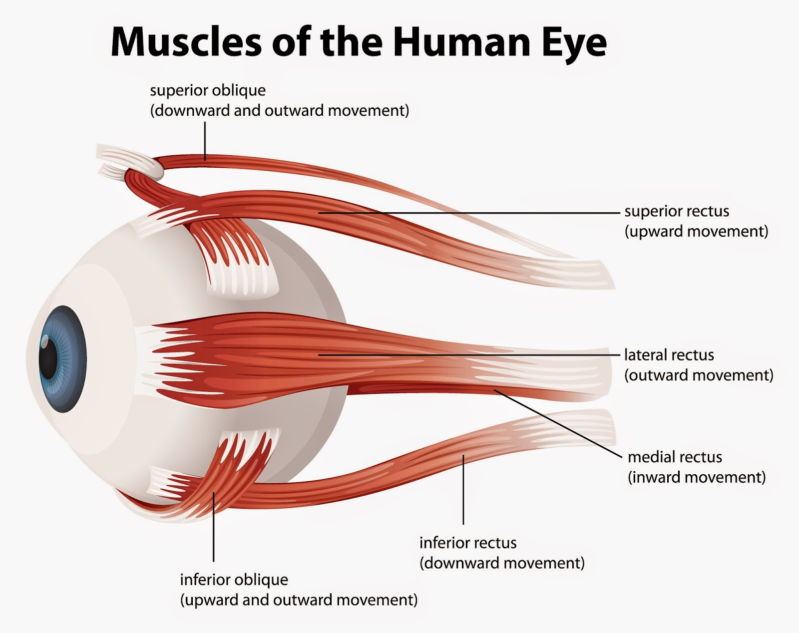 Diagram Of The Left Eye Arm Muscles Anatomy Blank 101 Proofs For God 61