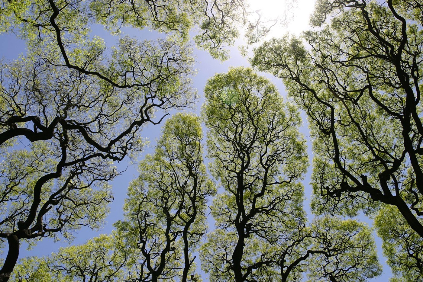 Kottke introduces us to a growth pattern that some types of trees display called crown shyness that will have us looking up. Why and how the trees stop ... & perfect for roquefort cheese: canopy or mind the gap