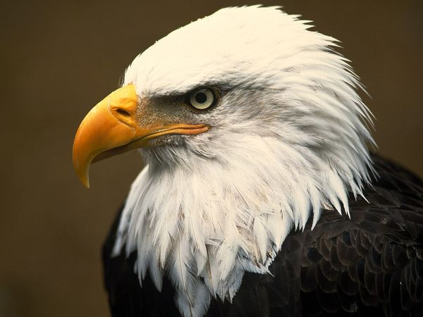 secret life of american eagle hd birds documentary ask itsolution