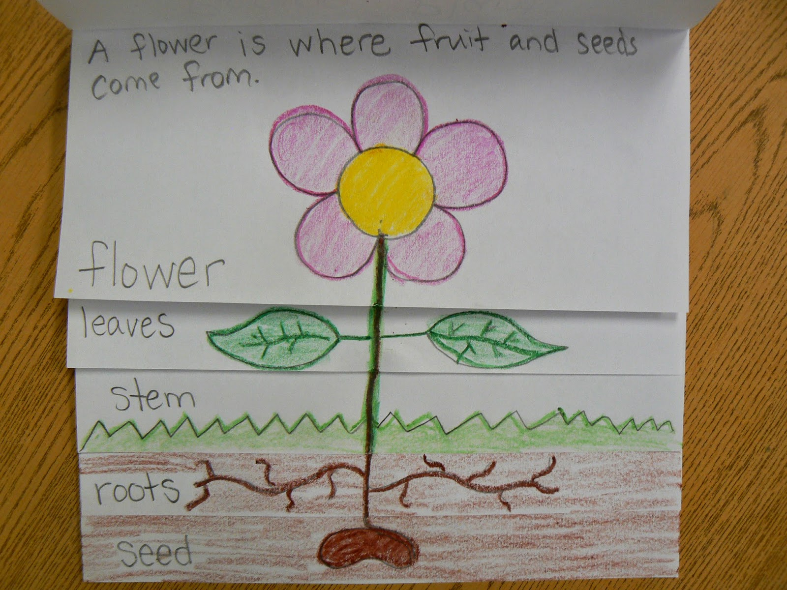 Mrs T S First Grade Class Plant Parts Flip Book