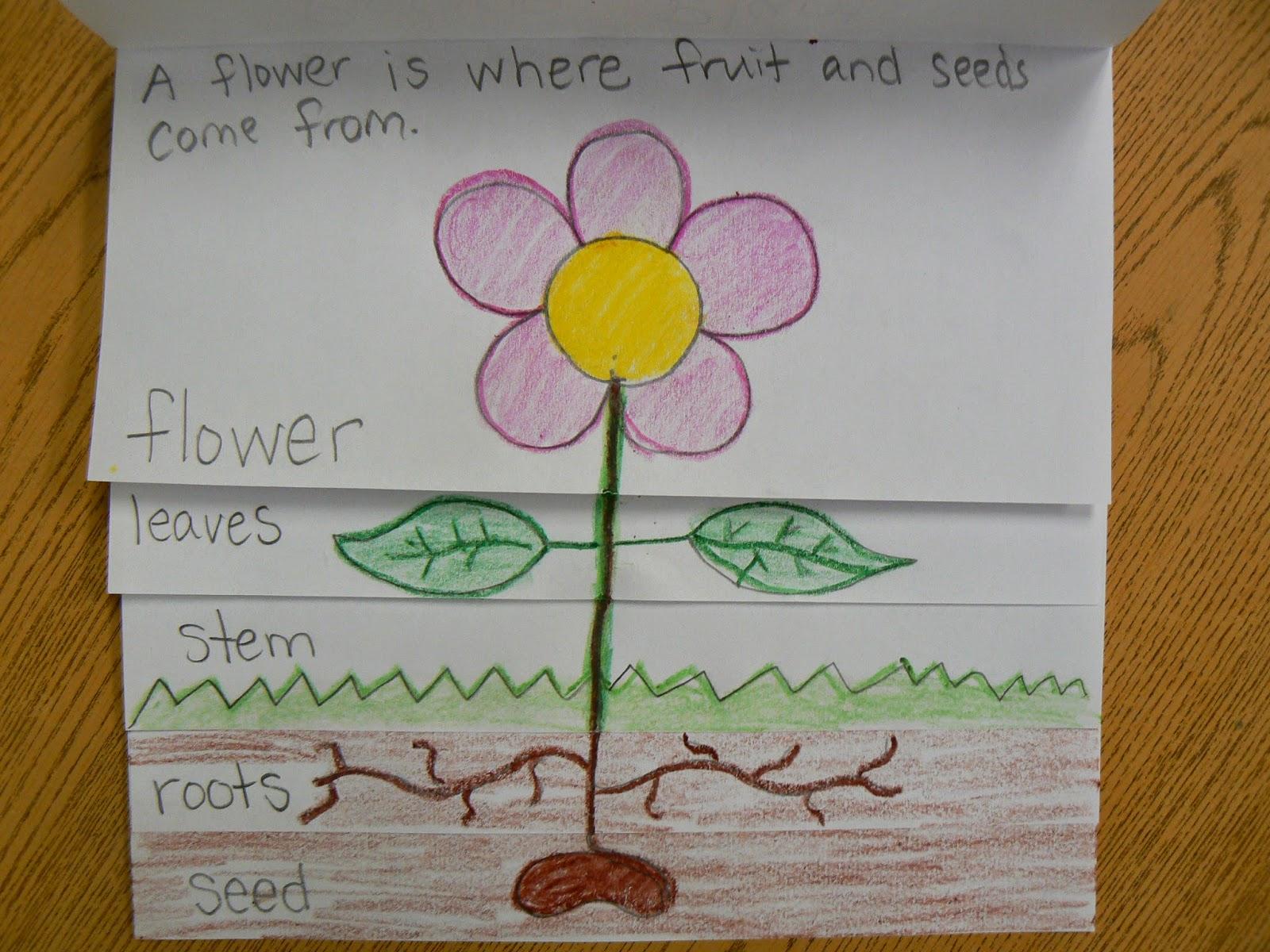 Mrs. T's First Grade Class: Plant Parts Flip Book