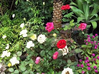 Jual Tanaman Hias Bunga Mawar (Rose) | Jual Tanaman Hias Online | Jasa Tukang Taman