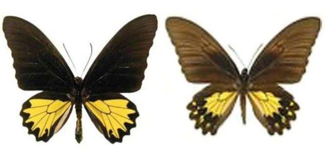 Kupu-kupu Troides helena