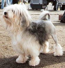 Löwchen small dog