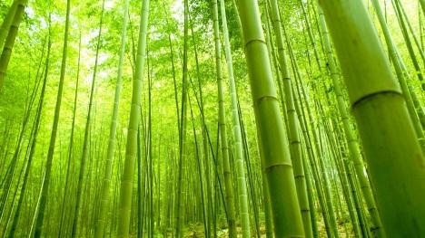 Bambús.