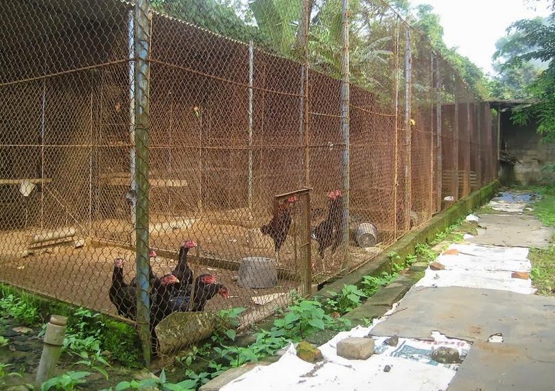 Ayam Petelur Jantan Bisa Bertelur - Tentang Kolam Kandang ...