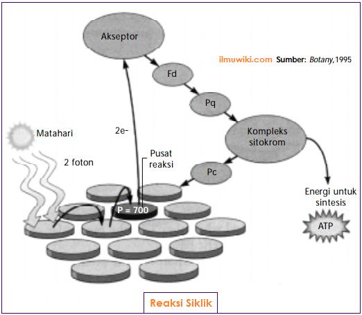 reaksi siklik proses fotosintesis