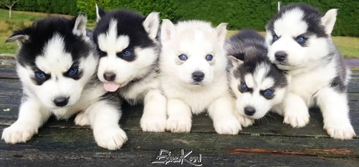 Camada de Cachorros HUSKY SIBERIANO del Sirokami {Nanuk & Zafira}