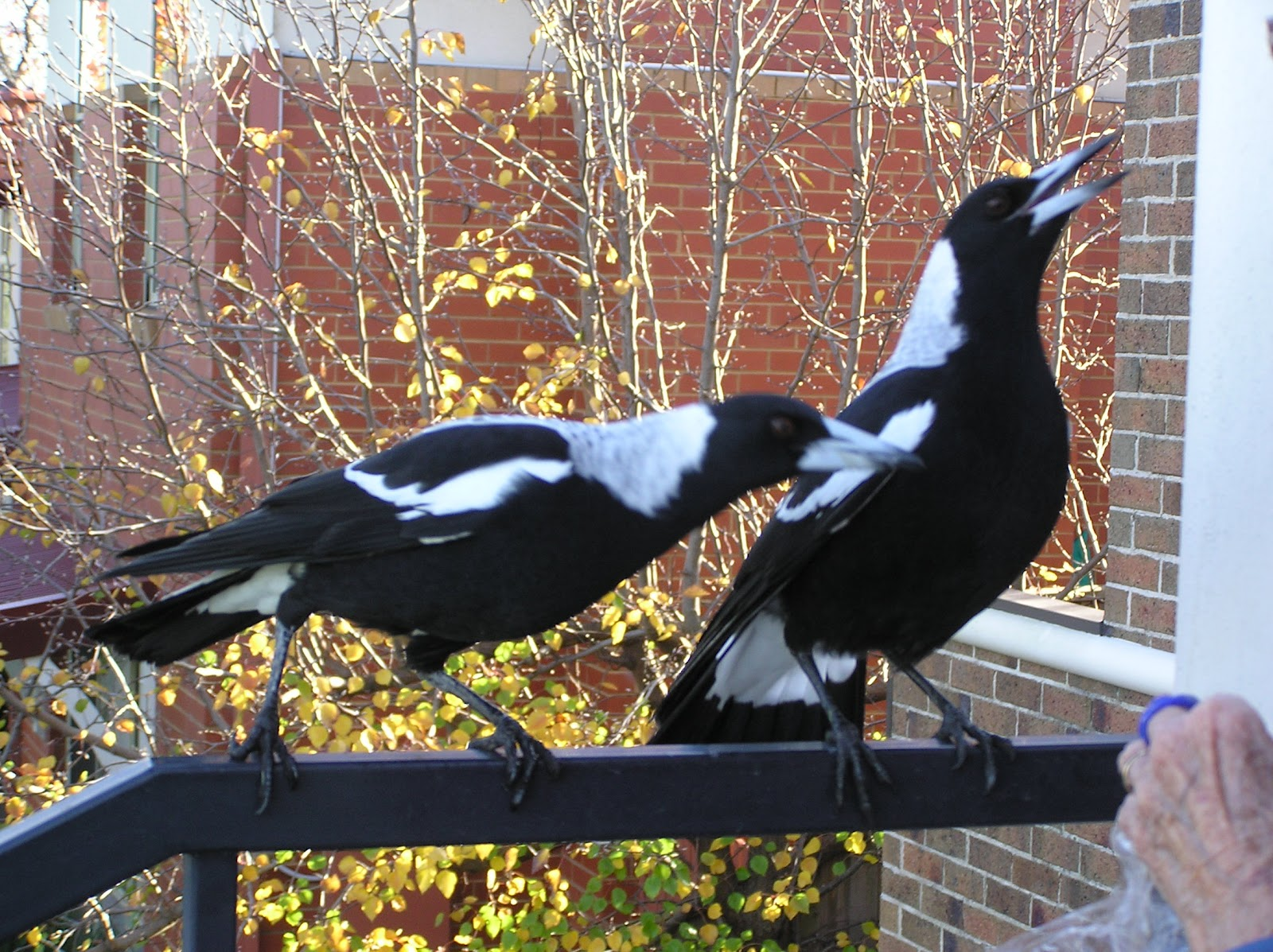 Neesie Natters: Magpies....one for sorry...two for joy..... - photo#29