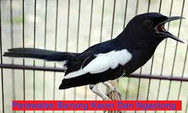 burung kacer gacor dan ngeplong
