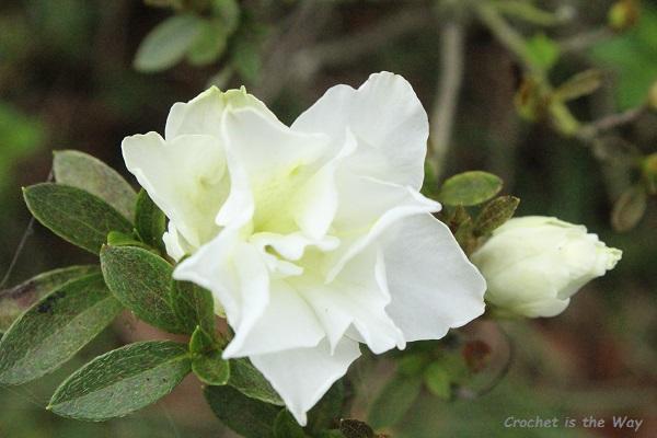 flowers, photography, azaleas, white