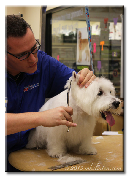 Groomer trimming hair around Pierre Westie's ears