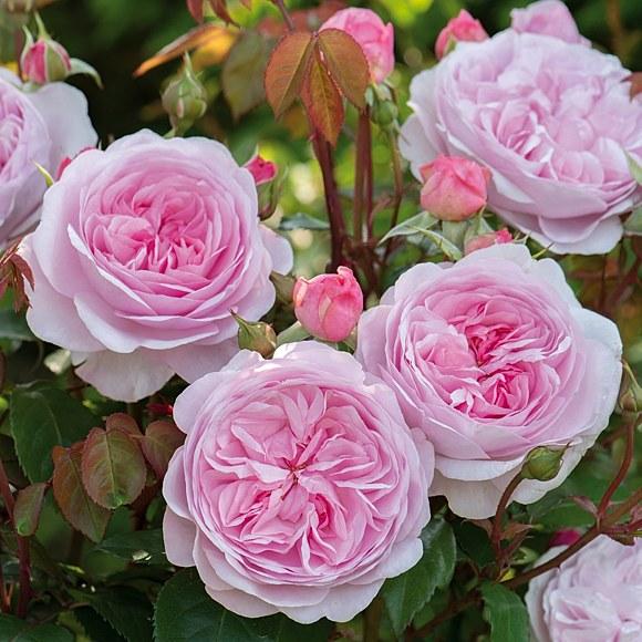 Olivia Rose Austin сорт розы фото
