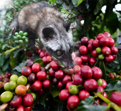 Travel-To-Luwak-Coffee-Production-Cikole-Bandung-West Java-Indonesia