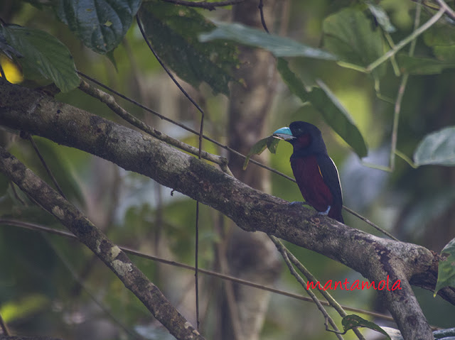 Black and red broadbill (Cymbirhynchus macrorhynchos)
