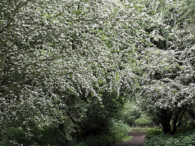 Huge hawthorn bushes completely covered in may blossom