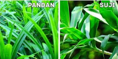 perbedaan daun suji dan pandan