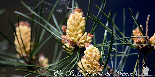 Kiefer, Blütenstände