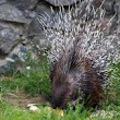 Porcupine HD images free download