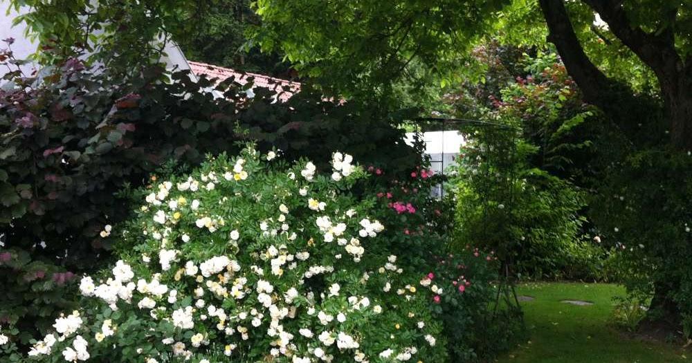 wir lieben rosen der nussbaum und die rosen im schatten. Black Bedroom Furniture Sets. Home Design Ideas