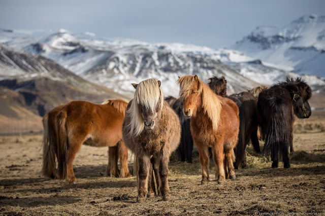 Day Trips from Reykjavik: Icelandic Horses
