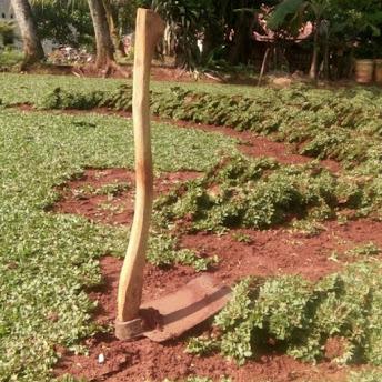 Jual Rumput Gajah Mini Dibogor - Jasa Pasang Rumput Gajah Mini