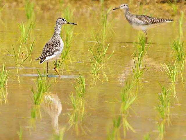 birds,Wood sandpiper,Tringa glareola