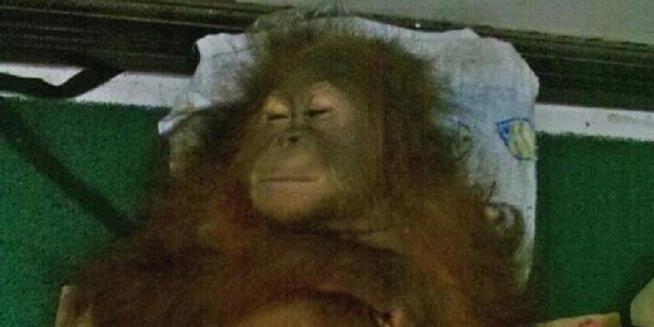 http://4.bp.blogspot.com/-nflQd26O3Ks/UZCc4xEQj2I/AAAAAAAAAHM/sPO5kCY_6PQ/s1600/2127356-jack-orangutan-620X310.jpg