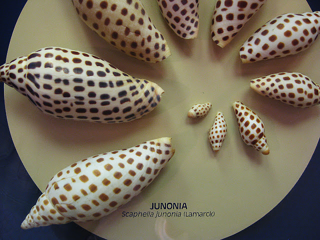 Junonia Seashells, Sanibel Island