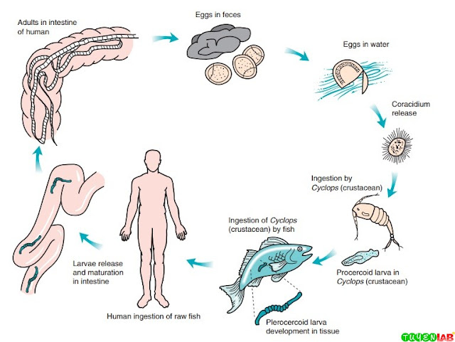 Life cycle of Diphyllobothrium latum.