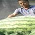 Semangka Super Besar, Berat 80 Kilo Lebih, Dihasilkan Oleh Petani Tiongkok
