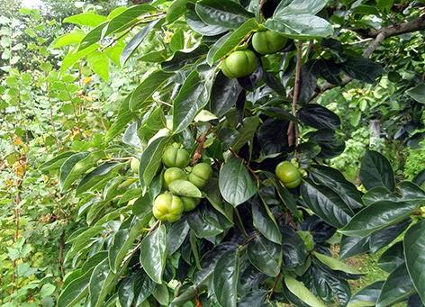 Rama de kaki cargada de fruto
