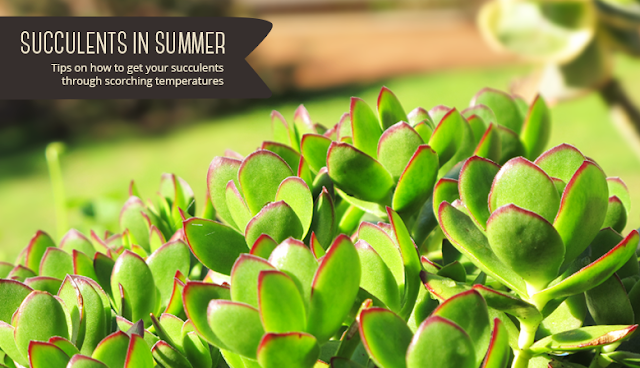 Succulents in Summer - Tips and tricks